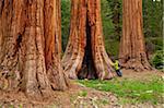 Tourist admiring the Giant Sequoia trees (Sequoiadendron giganteum), on the Big Trees trail, Round Meadow, Sequoia National Park, Sierra Nevada, California, United States of America, North America
