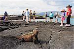Tourists looking at marine iguanas (Amblyrhynchus cristatus), Isla Isabela, Galapagos Islands, UNESCO World Heritage Site, Ecuador, South America
