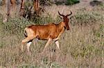 Cokes Bubale (Alcelaphus buselaphus), Lualenyi Game Reserve, Kenya, Afrique de l'est, Afrique