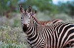 Zèbre de Grant (Equus quagga boehmi), Lualenyi Game Reserve, Kenya, Afrique de l'est, Afrique