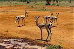 Subvention de gazelle (Gazella granti), Parc National de Tsavo East, Kenya, Afrique de l'est, Afrique