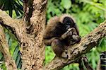 Bornean Gibbon (Hylobates muelleri), Lok Kawi Wildlife Park, Sabah, Borneo, Malaysia, Southeast Asia, Asia