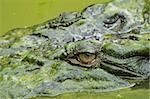 Saltwater (estuarine) crocodile (Crocodylus porosus), Sarawak, Borneo, Malaysia, Southeast Asia, Asia