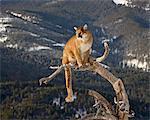 Couguar (PUMA) (Felis concolor) dans un arbre dans la neige, en captivité, près de Bozeman, Montana, États-Unis d'Amérique, l'Amérique du Nord