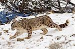 Léopard des neiges (Uncia uncia) dans la neige, en captivité, près de Bozeman, Montana, États-Unis d'Amérique, l'Amérique du Nord