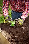 Planting Peas, Bradford, Ontario, Canada