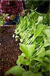 Weeding Radishes, Bradford, Ontario, Canada