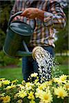 Watering Daisies, Bradford, Ontario, Canada