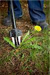 Gardener Weeding Dandelion, Bradford, Ontario, Canada