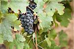 Grapes in Vineyard, Niagara Region, Ontario, Canada
