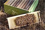 Un essaim d'abeilles sur honey comb
