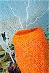 Orange Tube Sponge and Sea Fan
