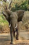 Afrikanischer Elefant aufladen, Vorderansicht