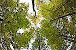 Low Angle View of Buche Bäume im Wald
