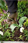 Deadheading Tulips, Toronto, Ontario, Canada