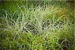 Ruban herbe entourée de hautes herbes mixtes, jardin botanique de Toronto, Toronto. En Ontario, Canada