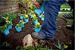 Gardener Planting Pansies in Garden, Toronto, Ontario, Canada