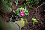 Gardener Planting Primula's in Garden, Toronto, Ontario, Canada