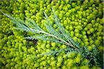 Gros plan d'orpin avec Evergreen Branch, Toronto Botanical Garden, Toronto, Ontario, Canada