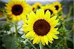 Close-up of Sunflowers, Toronto Botanical Garden, Toronto, Ontario, Canada