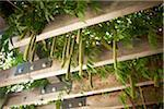 Glycine accroché à la Pergola, jardin botanique de Toronto, Toronto, Ontario, Canada