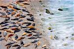 Colonie de phoques gris sur la plage, Point de Godrevy, Cornouailles, Angleterre