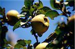 Pommes sur l'arbre