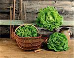 Sélection de salades dans un abri de jardin