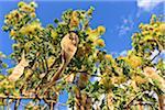 Close-Up of Seeds on Acacia Tree, Cabaceiras, Paraiba, Brazil