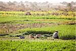Landwirt im Feld, Dakhla, Ägypten