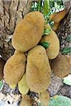 Jackfruit Tree, Camaratuba, Paraiba, Brazil