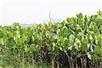 Taro Plants, Camaratuba, Paraiba, Brazil