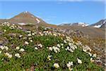 Mouse-Ear Chickweed, Mushamna, Woodfjorden, Spitsbergen, Svalbard, Norway