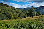Fougères dans le champ, le Parc National de Lake District, Cumbria, Angleterre