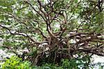 Arbre de banian Agon, île de Tokunoshima, préfecture de Kagoshima, Japon