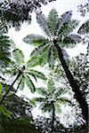 Amami géant de fougère, la forêt primaire de Kinsakubaru, Oshima, îles Amami, Kagoshima Prefecture, Japon