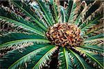 Sago Palm, Tokunoshima Island, Kagoshima Prefecture, Japan