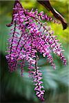 Purple Flower, Tokunoshima Island, Kagoshima Prefecture, Japan
