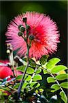 Rote Fairy Duster, Ryukyu-Mura, Onna Dorf, Okinawa Hontō, Präfektur Okinawa, Japan