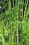 Indonesia, Bali, rice fields, bamboo