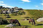 Dartmoor Ponys, Bonehill Felsen, Dartmoor Nationalpark, Devon, England, Vereinigtes Königreich, Europa