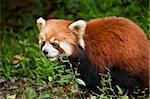 Red Panda (Ailurus fulgens), Panda Breeding and Research Centre, Chengdu, Sichuan province, China, Asia