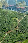 Junge zu Fuß zur Schule durch Tee Felder, Dickoya, Hill Country, Sri Lanka, Asien