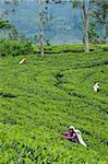 Tee-PflückerInnen in terrassierten Felder, Dickoya, Hill Country, Sri Lanka, Asien