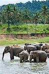 Asian elephants bathing in the river, Pinnawela Elephant Orphanage, Sri Lanka, Indian Ocean, Asia