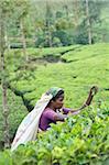 Tamilische Frau Rupfen Tee Blätter, Dickoya, Hill Country, Sri Lanka, Asien