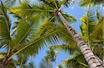 Palm arbres, Punta Cana, République dominicaine, Antilles, Caraïbes, Amérique centrale
