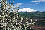 Blossom and Mount Etna, near Cesaro, Sicily, Italy, Europe