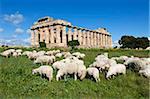 Temple grec de Sélinonte avec le troupeau de moutons, Selinunte, Sicile, Italie, Europe