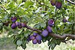 Prunes, Cawston, Similkameen Country, en Colombie-Britannique, Canada